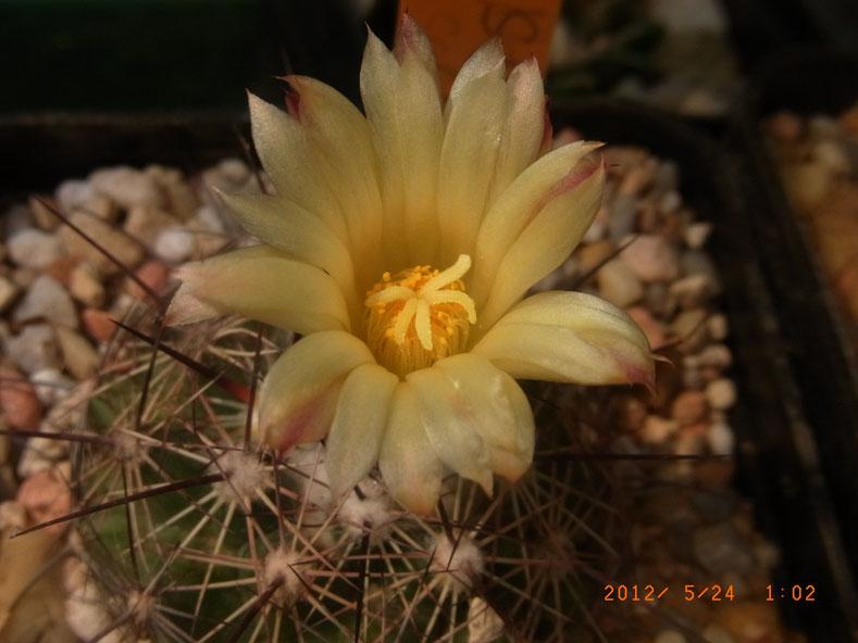Coryphantha nickelsae SB 1538