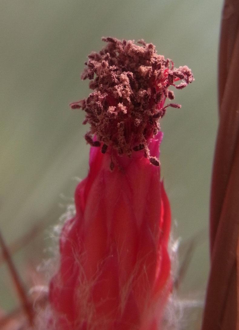 Demnoza rhodacantha