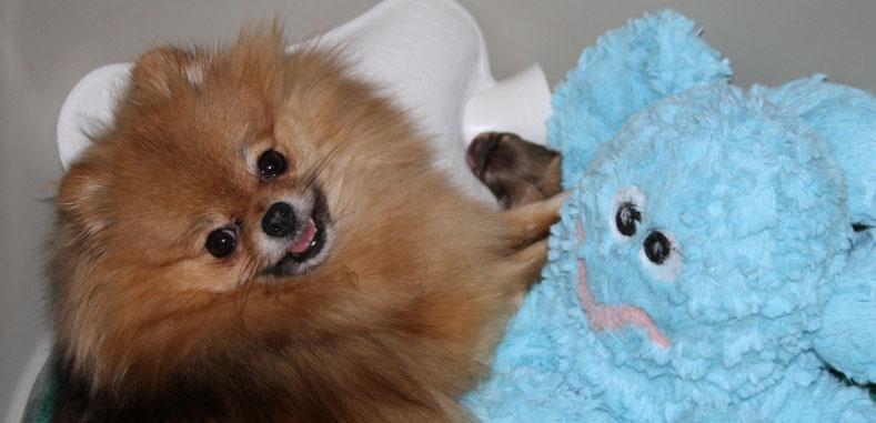 Pomeranian Hündin mit Welpe