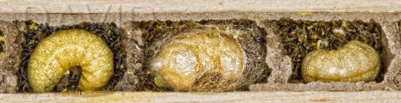 Mauerbiene Verpuppung Brutzelle Insektennisthilfe Insektenhotel solitäre Wildbiene