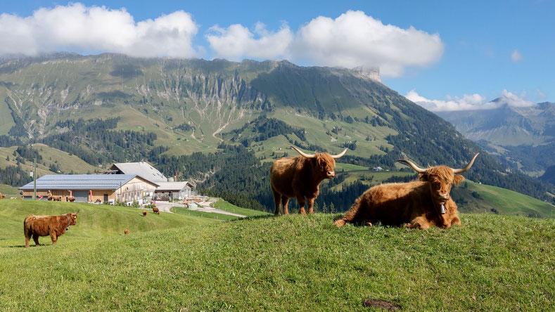 Unsere Schottischen Hochlandrinder auf der Herbstweide September 2019