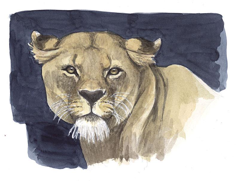 design illustration melanie suter löwe löwin tierillustration biologie wissenschaftliche aquarell handgezeichnet analog
