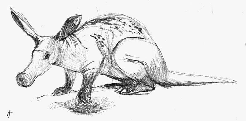 design illustration melanie suter skizze handgezeichnet analog erdferkel anatomie tiere natur wissenschaftliche bleistift sketch biologie