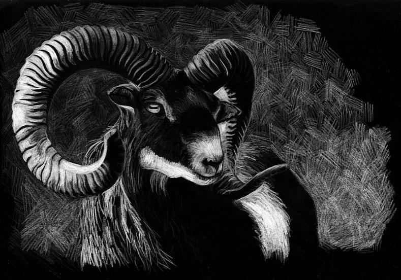 design illustration melanie suter mufflon schaft schwarz weiss negativ skizze sketch farbstift handgezeichnet analog