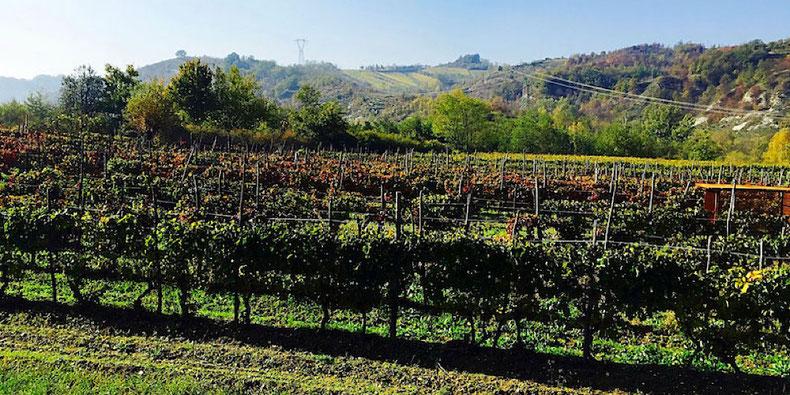 grape fields gavi italy