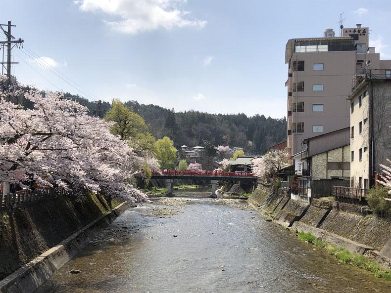中橋周辺の桜も満開