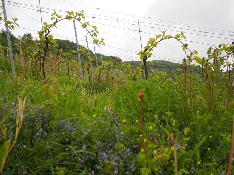 9.05.2019 - Biodiversität im Weinberg, die Reben sind gerade ausgetrieben.