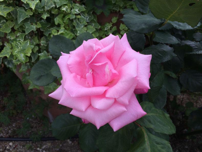 アメリカ山公園のバラ