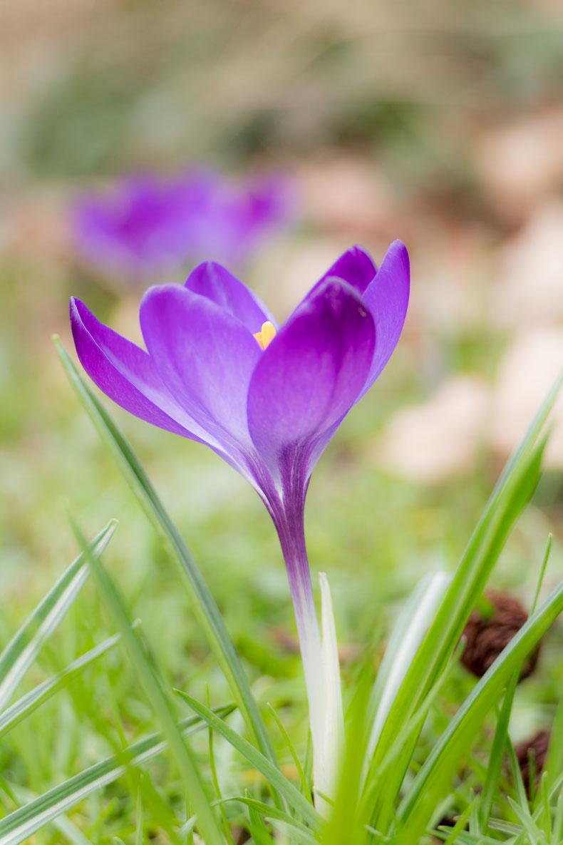 Close up paarse krokus macro