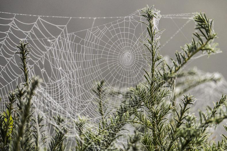 Spinnenwebben met dauw tussen de taxussen