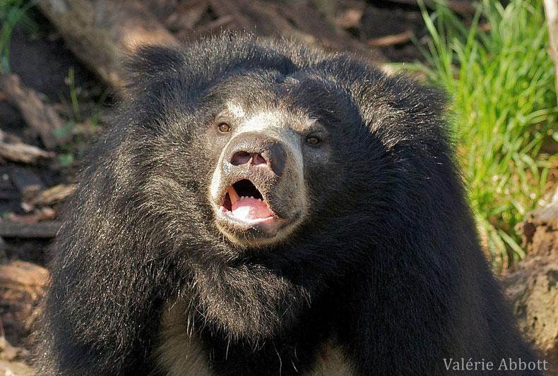 fiche animaux ours lippu