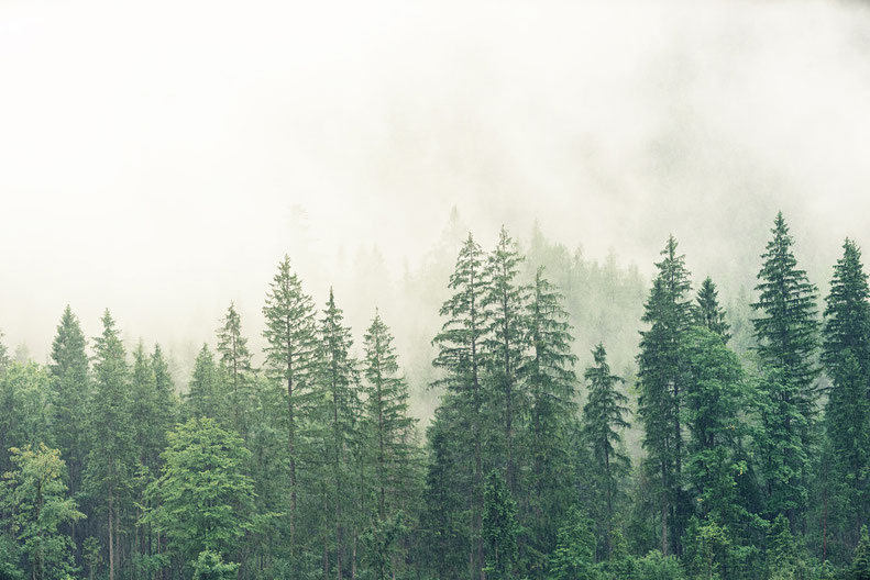 pine trees in the forrest with fog
