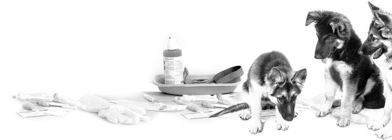 So süß Hundewelpen auch sind, hinreichendes Fachwissen erwerben Sie nur im Rahmen des Sachkundenachweises, den Sie bei Dr. Birge Herkt sowohl in Theorie als auch Praxis ablegen können. Zudem berät Dr. Herkt Sie gerne!