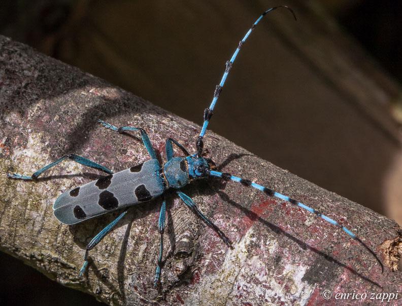 Un bel maschio di Rosalia Alpina, coleottero cerambicide, gira sui tronchi di faggio alla ricerca della femmina!