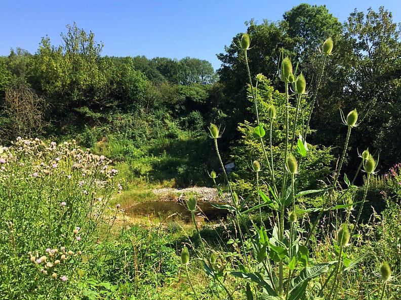 Naturschutzgebiet Chili in Rheinfelden, Teich für Gelbbauchunken und ander Amphipien