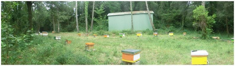 Cria d'abella negra