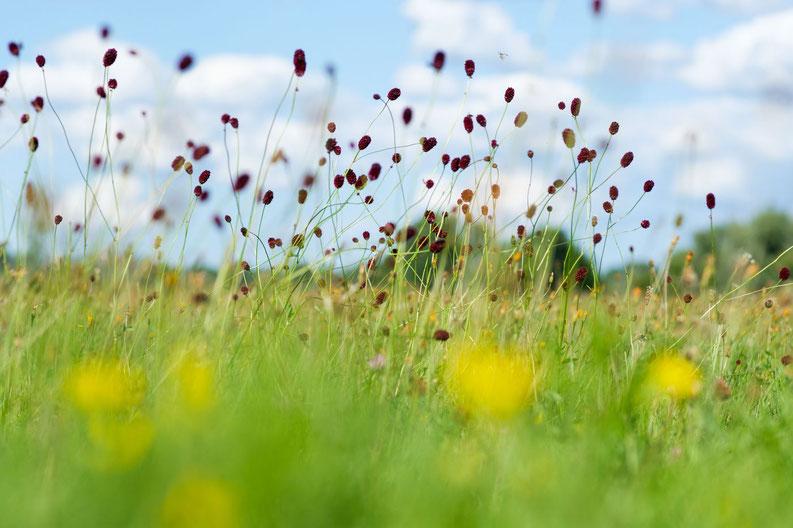 Sanguisorba_officinalis; Foto von Julian Denstorf