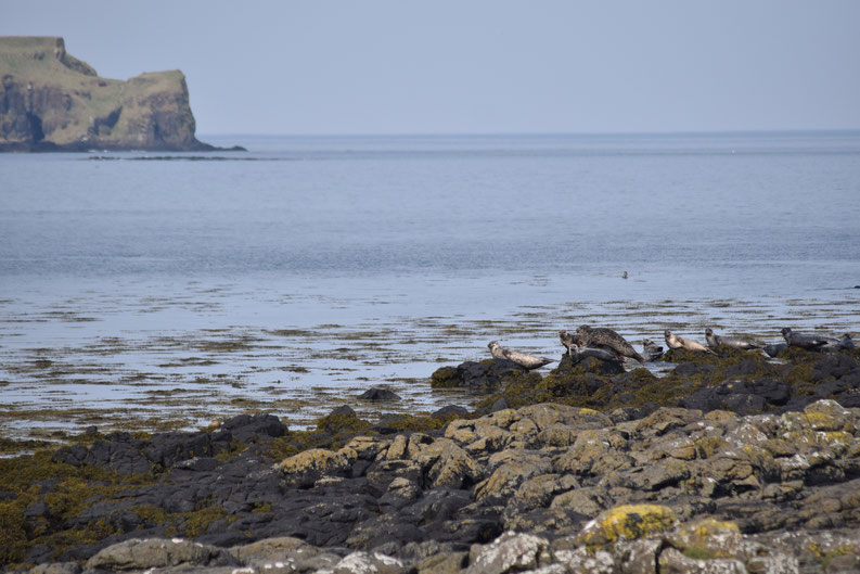 seals, Isle of Muck