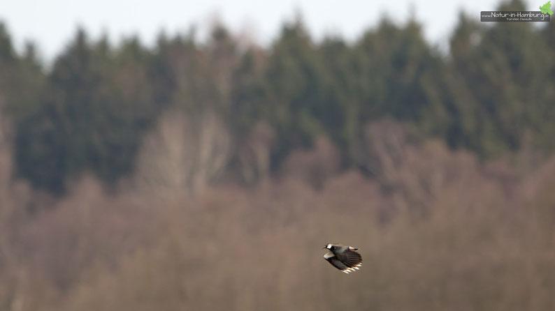 Ein Kiebitz überfliegt die Wiesen