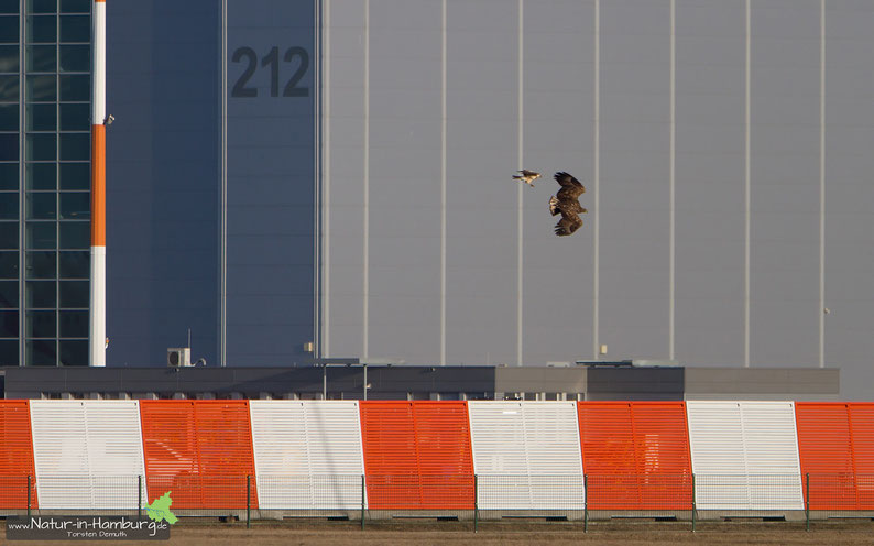 Jugendlicher Seeadler auf dem Airbus-Gelände, verfolgt von einem Mäusebussard, 03.03.2013