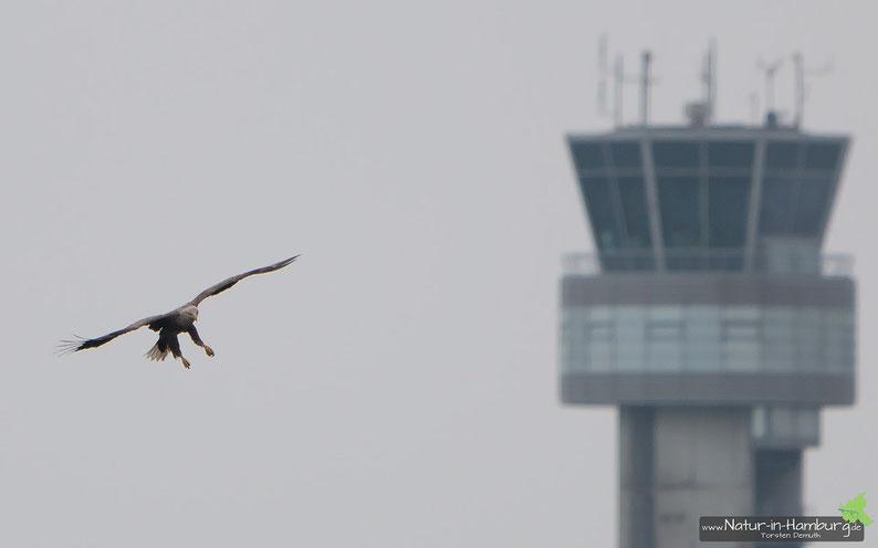 Seeadler und Airbus-Tower (selbstverständlich keine Montage), 10.05.2014