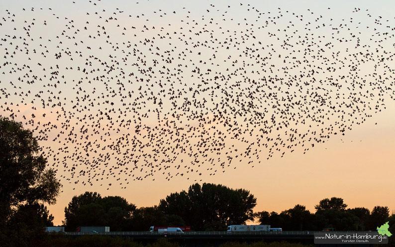 Stare beim abendlichen Einflug in den Schilfgürtel am Heuckenlock, alleine auf diesem Foto sind etwa 3000 Vögel abgebildet