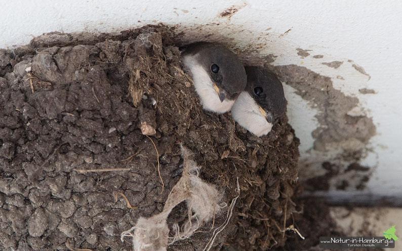 Junge Mehlschwalben lugen aus der Nisthöhle hervor