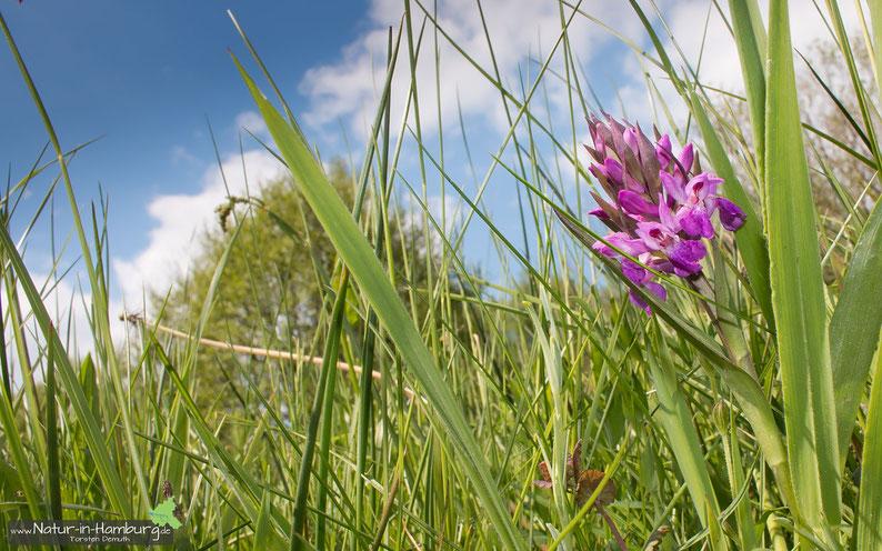 Orchideen sind in Hamburg selten geworden, hier das Breitblättrige Knabenkraut im Moorgürtel (Neugraben-Fischbek)