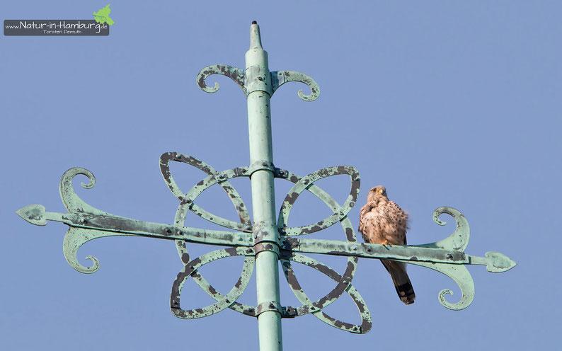Das Männchen des Brutpaares thront über der Kirche