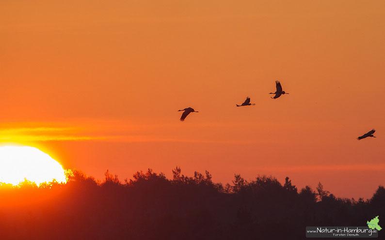 ...fliegen die Kraniche der morgendlichen Sonne entgegen