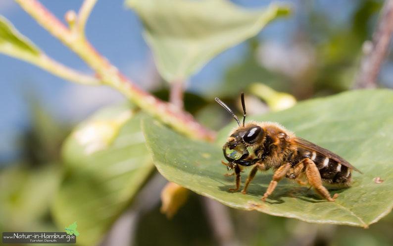 Bei sommerlichen Temperaturen ist die Flüssigkeitsaufnahme enorm wichtig, hier bei einer Hosenbiene (Neugraben-Fischbek)