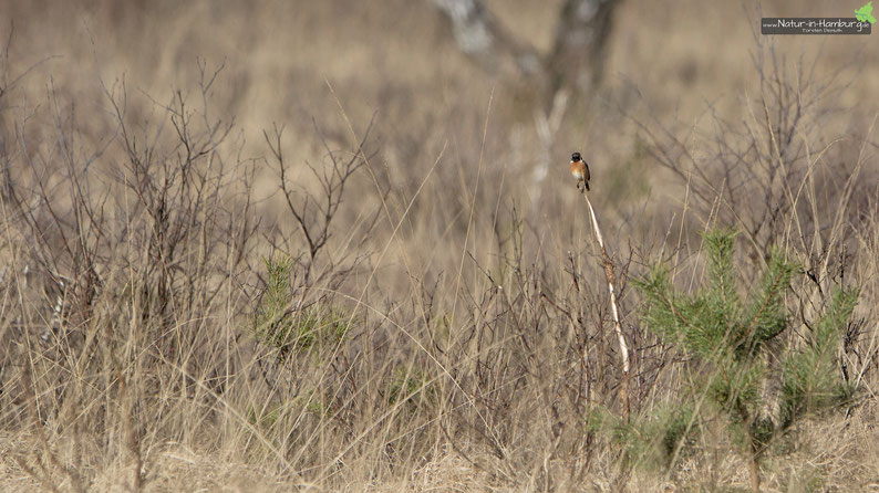 Das Schwarzkehlchen-Männchen markiert mit seinem Gesang das Revier