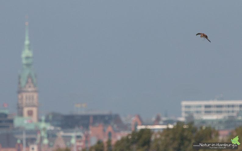 Rüttelnder Turmfalke, das Rathaus im Hintergrund ist genau 5 km entfernt