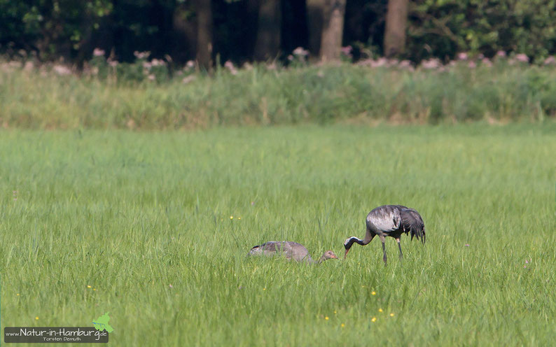 Kraniche: Jung- und Altvogel im Duvenstedter Brook
