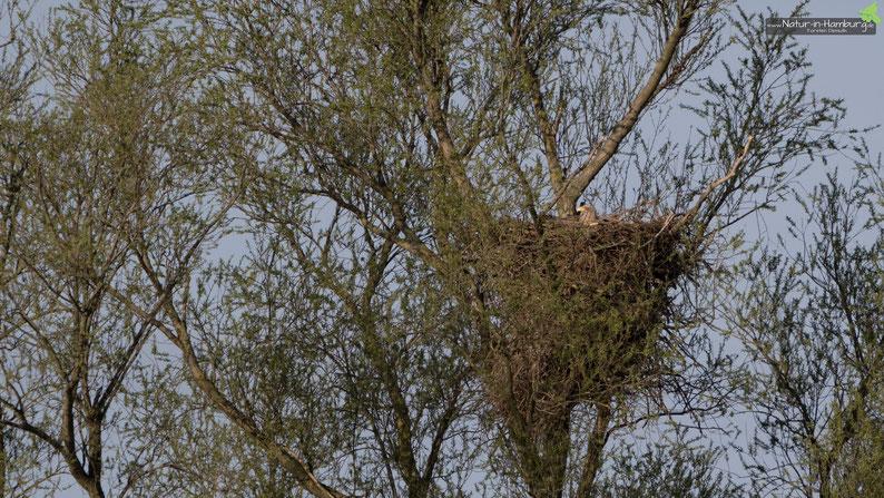 Brütendes Seeadler-Weibchen an der Alten Süderelbe in Hamburg