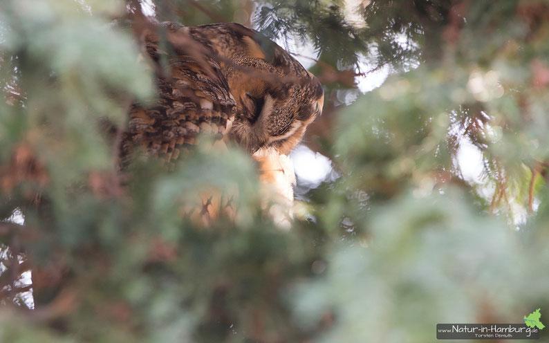 Gut versteckt im Ziergehölz: Waldohreule bei der Gefiederpflege