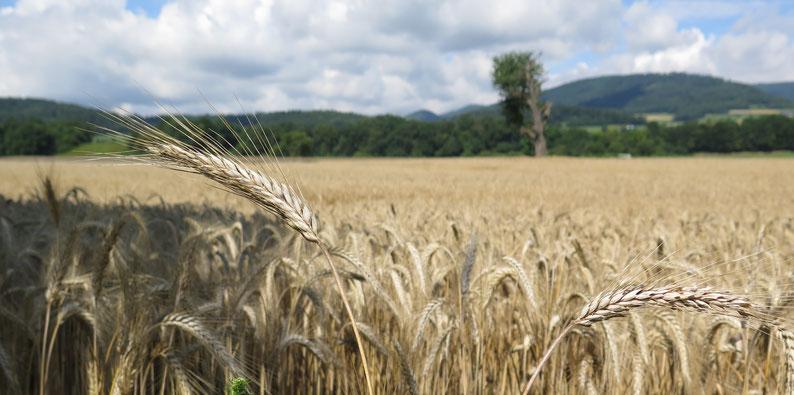 Landwirte machen das Land schön. Kornfeld zwischen Aarau und Erlinsbach