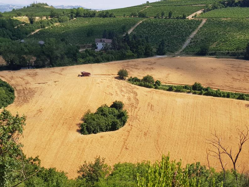 Der Mähdrescher arbeitete sich während zwei Tagen durch das Korn.
