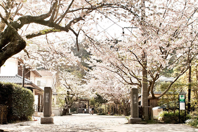 20190407  鎌倉 長谷 光則寺 山門前の桜並木 晴天 汗ばむ陽気 満開の桜