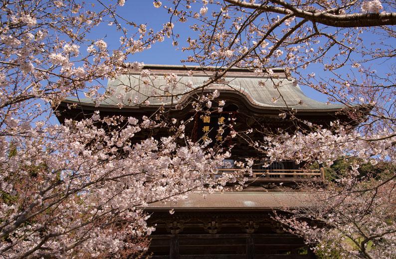 2018年3月25日(日曜日) 前日東京でソメイヨシノの満開が発表されたので鎌倉へ花見へ。建長寺の桜