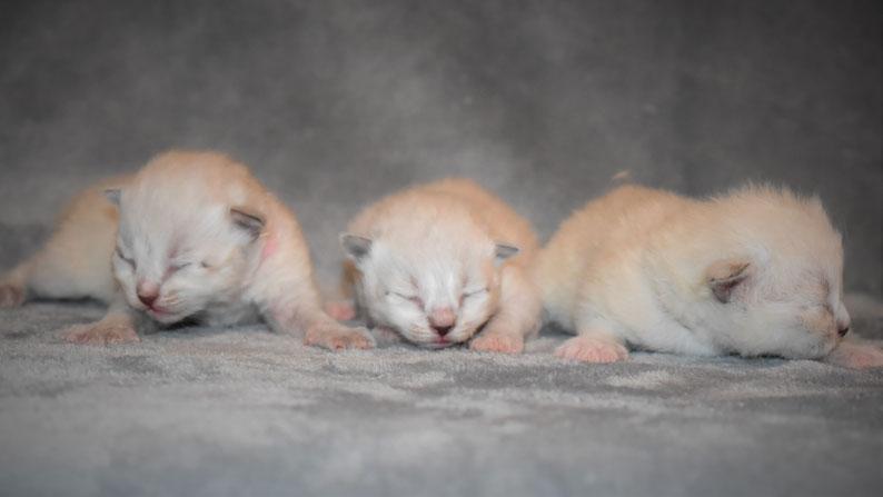 immagine cuccioli gatto siberiano