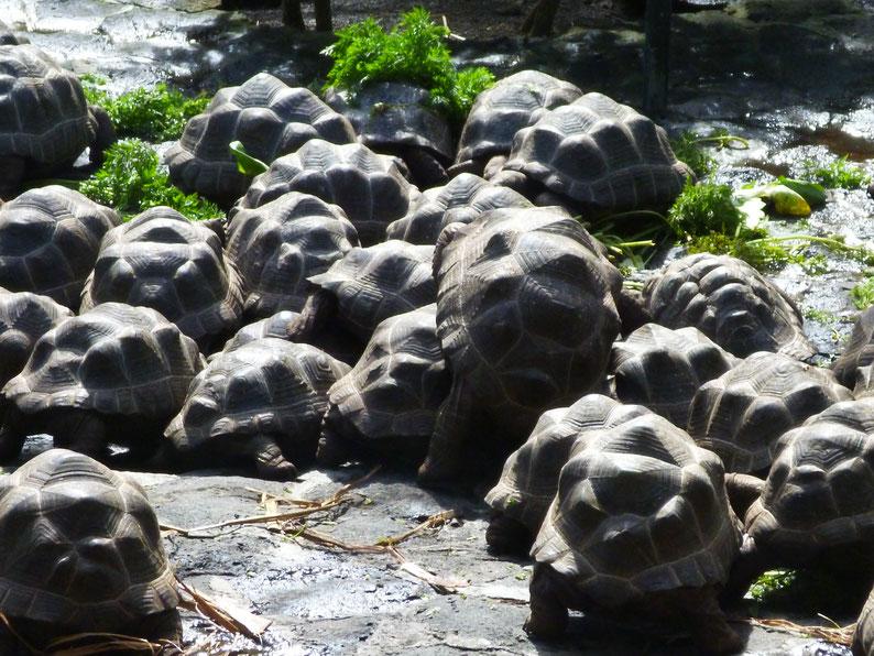 junge Schildkröten Mauritius