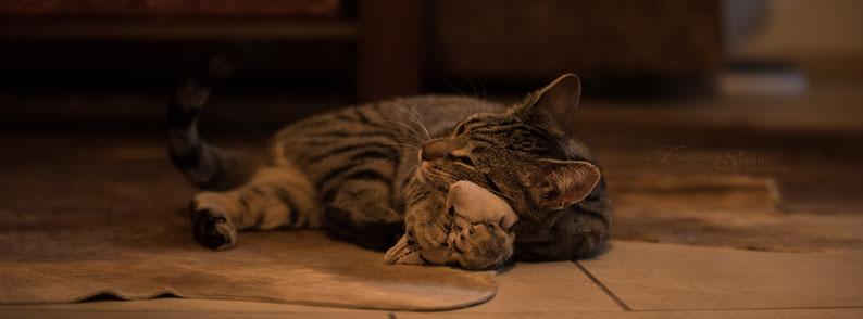 Franziska Spohn Fotografie - Tierfotografie, Katzenfotografie, Indoorshooting, kuschelnde Katze, getigerte Katze