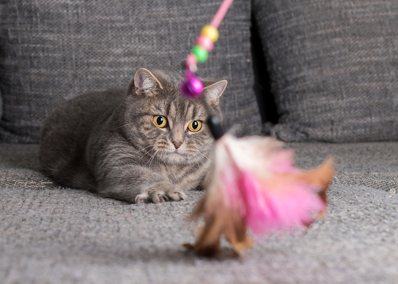 Franziska Spohn Fotografie - Tierfotografie, Katzenfotografie, spielende Katze, Indoorshooting