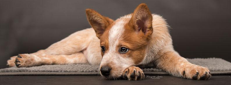 Franziska Spohn Fotografie - Australien Cattle Dog Welpe , Hundefoto, Welpenfoto, Indoorshooting, Studiobild