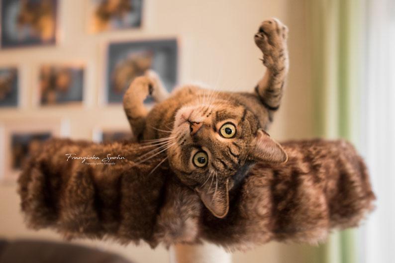 Franziska Spohn Fotografie - Tierfotografie, Katzenfotografie, Indoorshooting, Katzenblick, lustige Katze