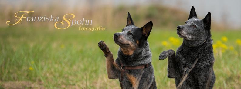 Franziska Spohn Fotografie - Outdoorshooting, Tierfotografie, Hundefoto, winkende Hunde, australien Cattledogs