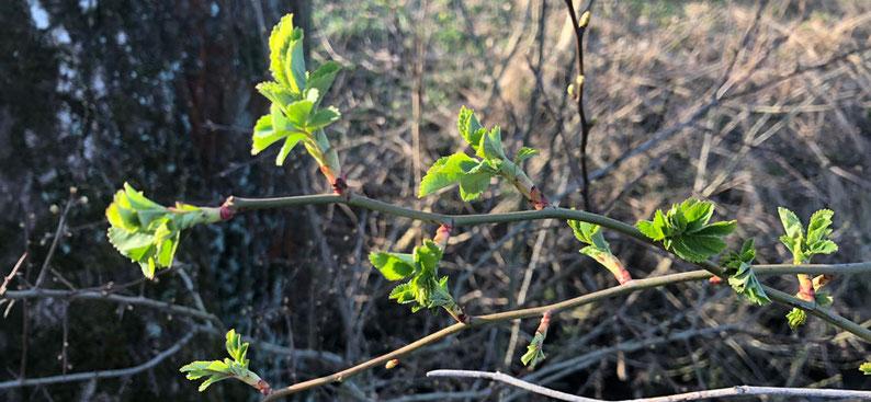 Heckenrose (Rosa Canina) mit Knospen und jungen Pflanzenteilen