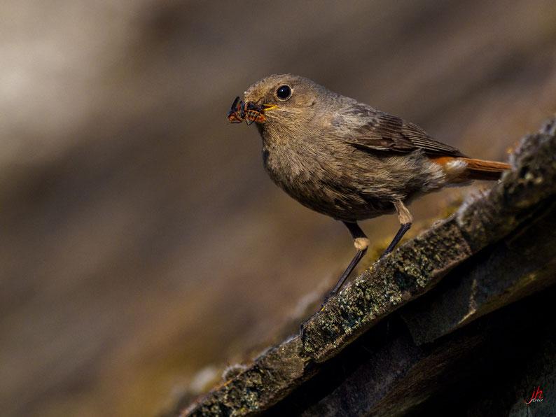 Familie: Fliegenschnäpper (Muscicapidae) Ordnung: Sperlingsvögel (Passeriformes)  Gattung: Rotschwänze (Phoenicurus)  (Ok, i hob mi gspiad ;)