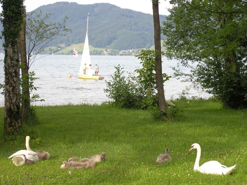 In der Dexelbacher Bucht nisten Schwanenfamilien, Wildenten, Wellensäger, Haubentaucher und andere Wildtiere